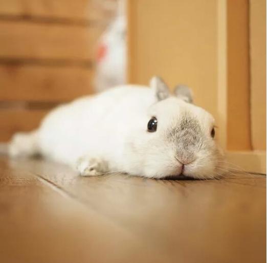 频道兔子动物图片荷兰宠物兔一看就知道是小型侏儒你兔那种原浦桑尼克北极熊s版v频道图片