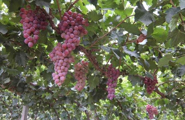 提子和葡萄的区别有哪些?