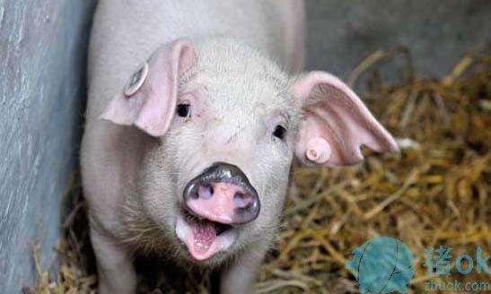 如何选择与管理种公猪?