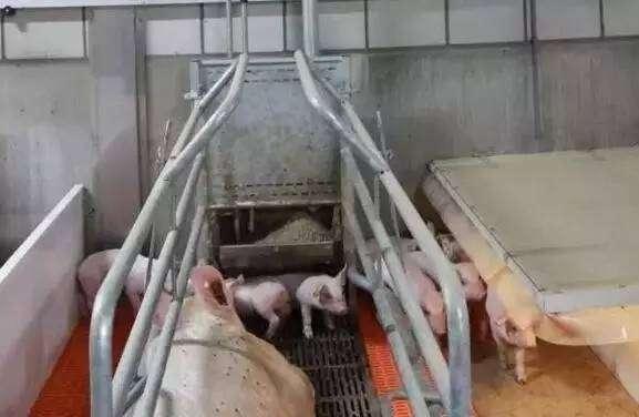 猪场牛人分享三天管理法则,让你养猪更轻松!