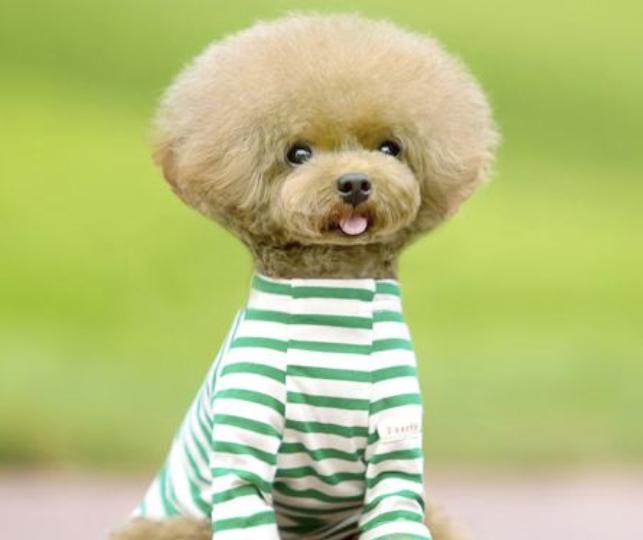贵宾狗造型图片 -动物图片