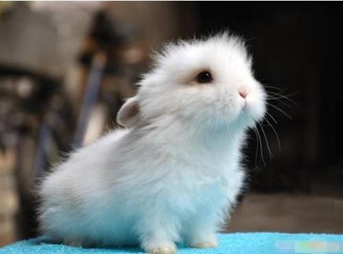 宠物频道 动物图片  狮子兔是欧洲品种,因模样有点像狮子,所以就称之