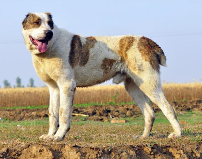 今天我们要来见识一下世界十大名犬排名图片大全,大多是比较古老的犬