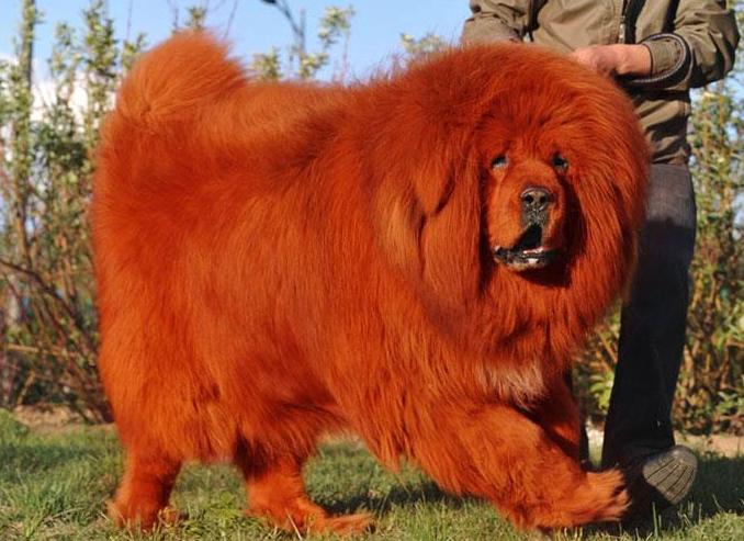 世界十大名犬排名图片