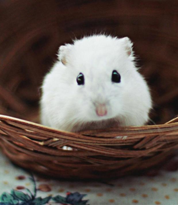 小白鼠图片 -动物图片