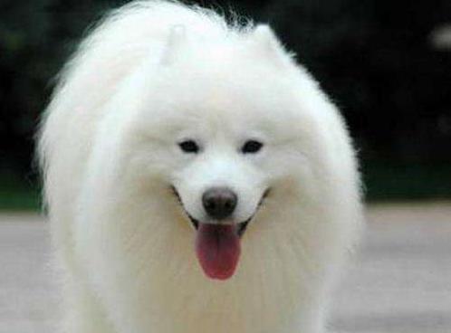 宠物频道 动物图片  日本尖嘴犬又叫银狐犬,是种全身长满白毛又很雪白