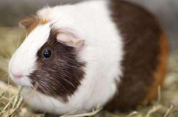 荷兰猪图片