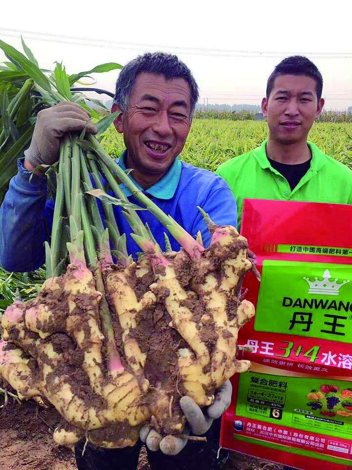 大姜遇丹王  产量增五成