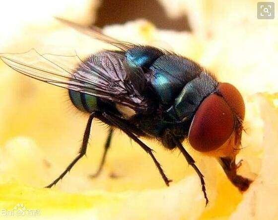 蝇蛆的饲养养殖方法有哪些