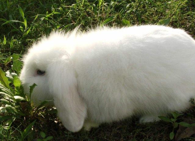 宠物频道 动物图片  美种长毛费斯垂耳兔俗称美国长毛垂耳兔,体型娇小