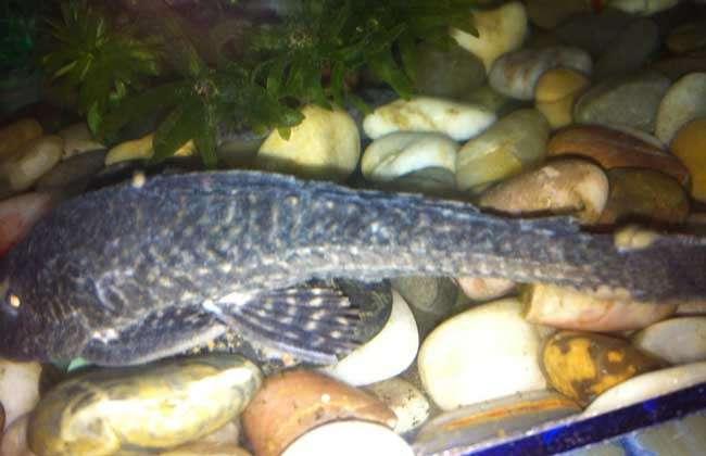 清道夫鱼怎么饲养?