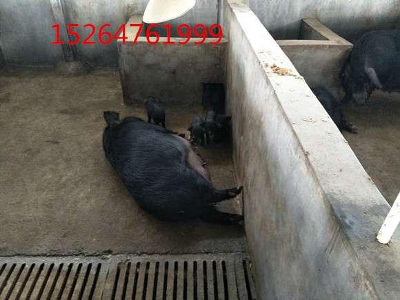 小野猪10头藏香猪种猪需要多大地方养新会