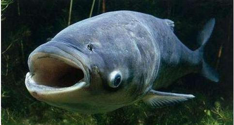 鳙鱼图片 -动物图片