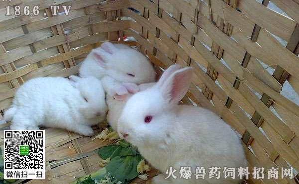 如何选种兔,哪些兔子不能做种用