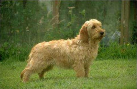 宠物频道 动物图片   大格林芬犬是一种很稀少的犬类,是一种非常聪明