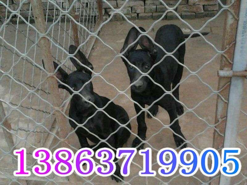 巴音郭楞哪里有卖黑狼犬幼犬的哪里有黑狼犬幼犬出售