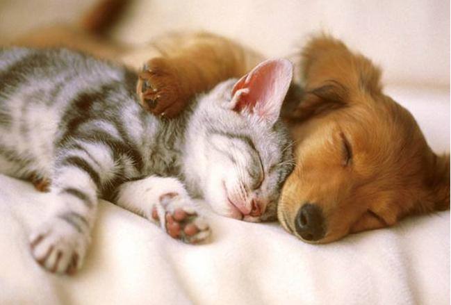 威尔士猫是一种没有尾巴的猫种,又叫长毛曼岛猫,因为它是曼岛猫的长毛变种,比较可爱温顺,受到爱猫者的宠爱。下面介绍一组威尔士猫小宠物图片,请大家一起来欣赏。