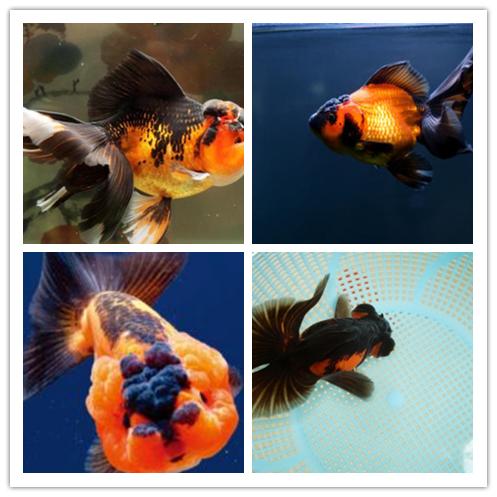 包金金鱼图片 -动物图片