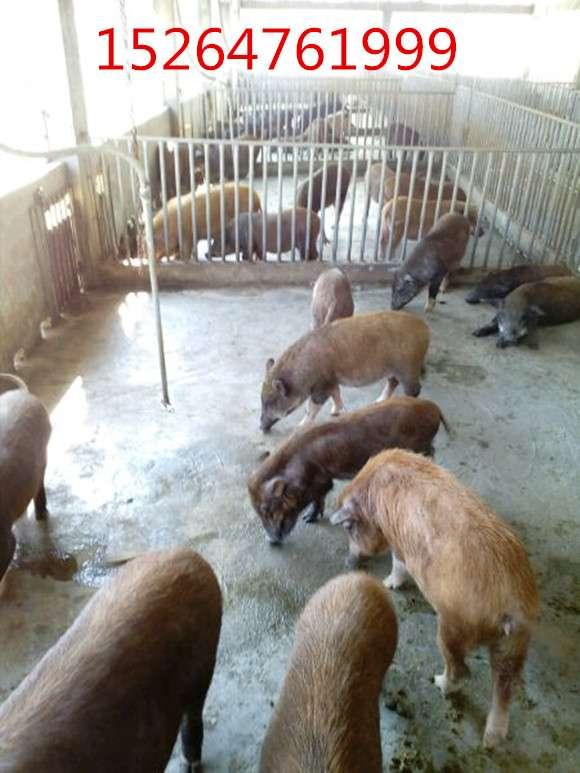 纯种的巴马香猪种猪价格,罗湖区养小野猪场