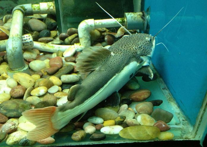 红尾鲶观赏宠物鱼图片