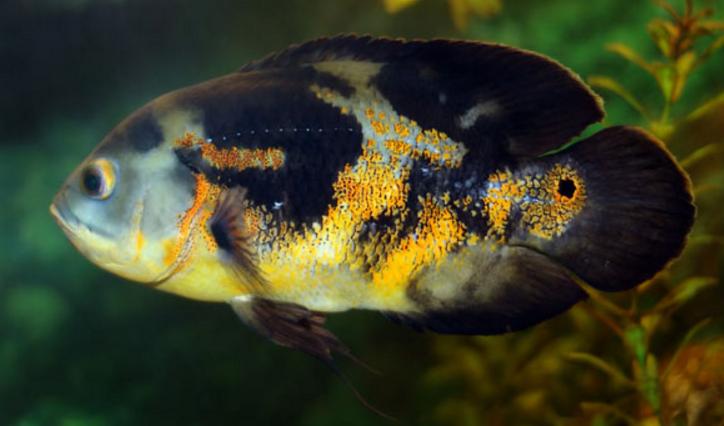 热带地图鱼图片 -动物图片