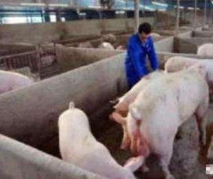猪场常用7种母猪诱情措施,你用过几个?