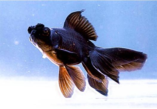 墨龙睛金鱼图片 -动物图片
