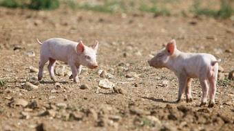 有效控制PRRS来改善猪群的性能 提高养猪业整体竞争力