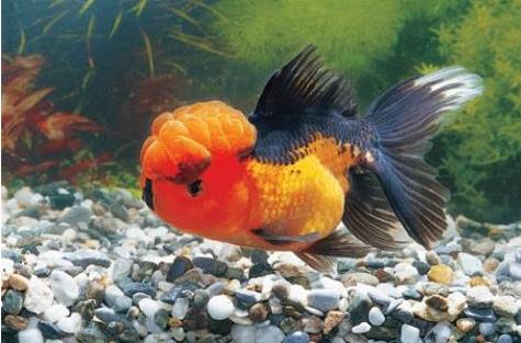 宠物频道 动物图片  乌云盖雪金鱼是金鱼比较奇特的一种鱼类,其额头