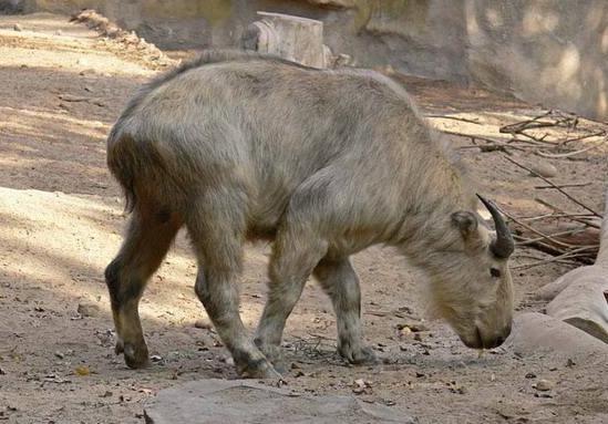 国家一级保护动物六不像图片