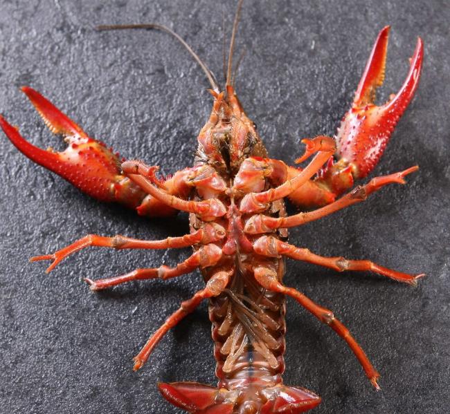龙虾是人们的喜爱,也是世界上名贵的海产品,而且龙虾这种动物身体很