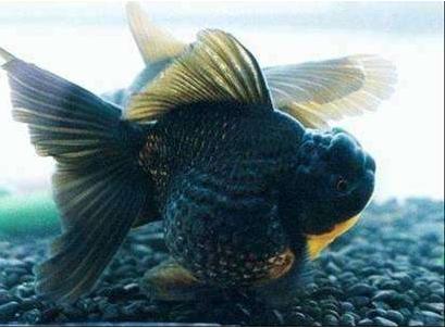 黑皇冠金鱼图片 -动物图片