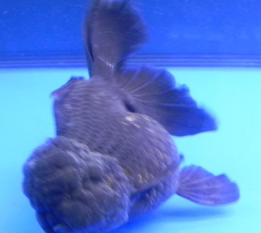 只不过颜色不一样,而且还是很受到人们的养殖,况且黑皇冠金鱼可爱又小