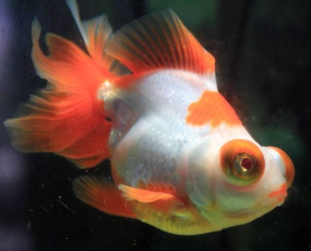 宠物频道 动物图片  十二红蝶尾金鱼的尾部大都是金黄色,但是金鱼的12