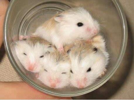 宠物频道 动物图片  老婆婆是仓鼠中体型最小,最可爱的,而且还与老