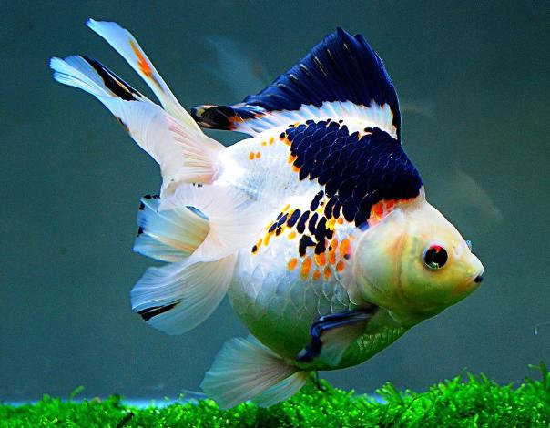 宠物频道 动物图片  五花龙睛金鱼顾名思义,金鱼全身由红,黄,蓝,黑,白
