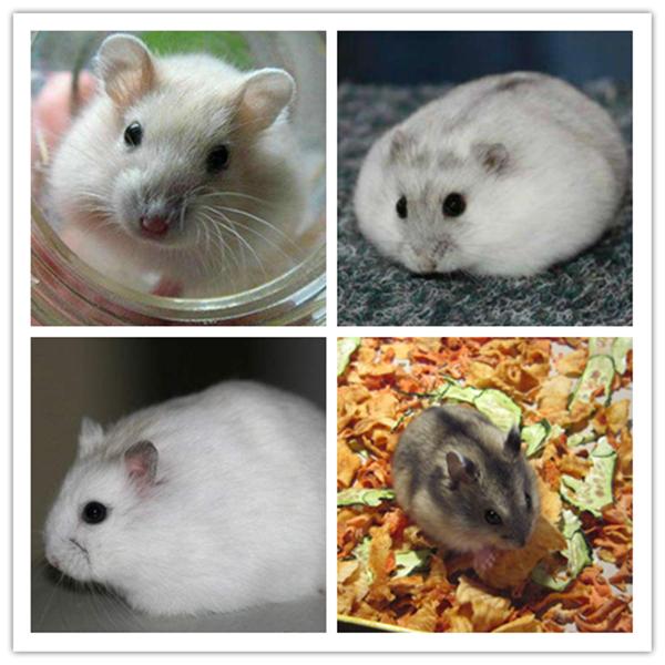 加卡利亚仓鼠图片 -动物图片