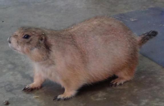 土拨鼠图片 -动物图片