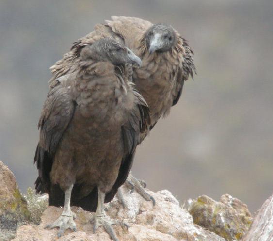 世界上最大的飞禽安第斯神鹫图片