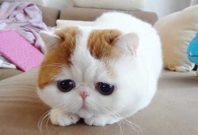 异国短毛猫图片 -动物图片