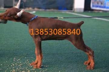 瑞安养狗场出售纯种金毛犬