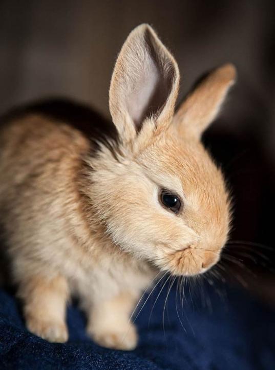 易养重情义可爱萌宠兔公主兔图片