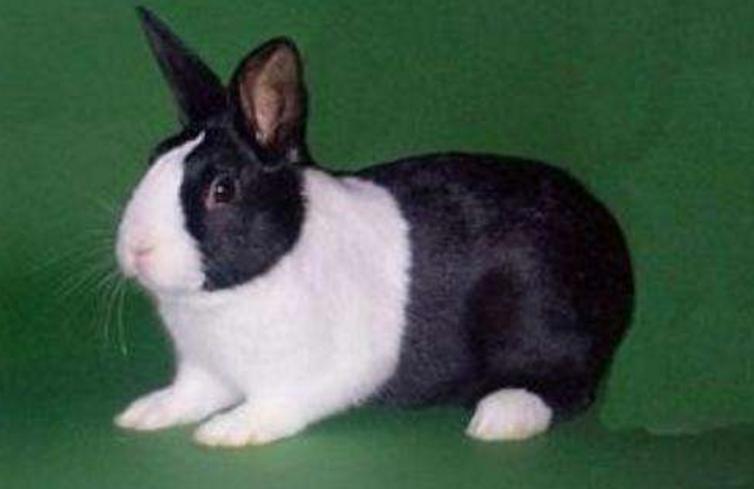 宠物频道 动物图片  英种斑点兔就是英国斑点兔,是一种中型的古老宠物