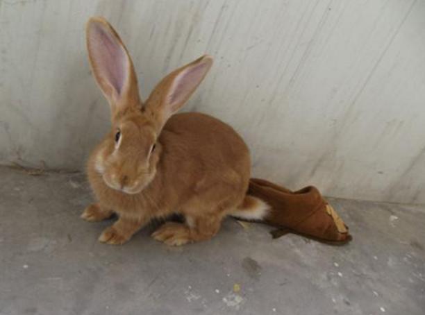 动物图片   太行山兔是优良兔种,主要分布在我国河北省地区,也叫虎皮