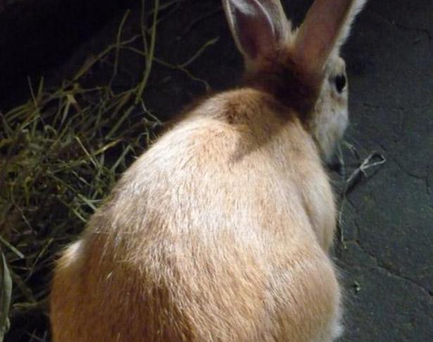 太行山兔图片 -动物图片