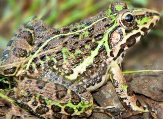 宠物频道 动物图片  泽蛙一般生活在田野,池泽丘陵地带,是一种蛙科