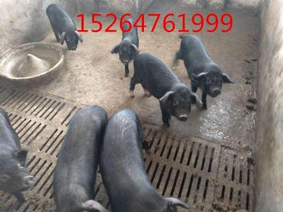 珠海纯种的特种野猪种猪价格
