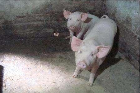 猪肠道疾病大汇总,以后给猪看病、治病容易多了!