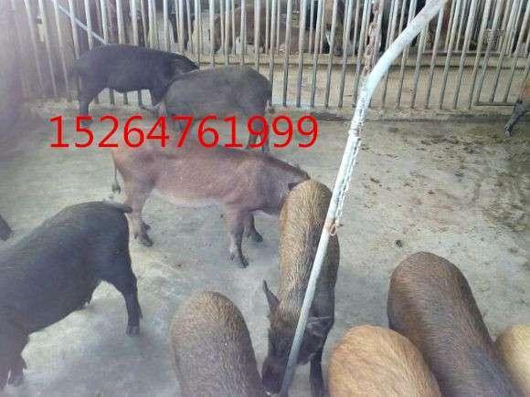 港闸区生态藏香猪成年巴马香猪种猪价格