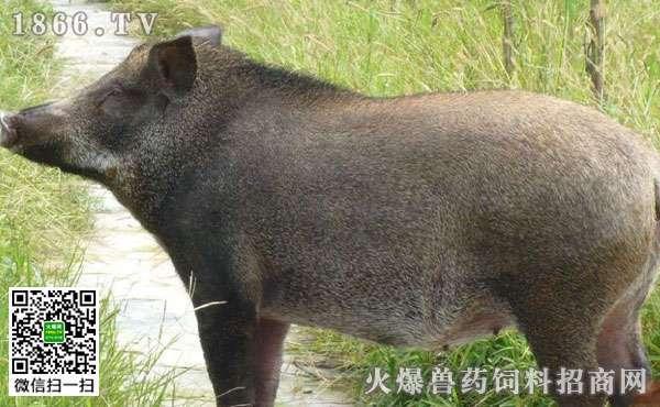 野猪养殖注意事项,野猪养殖的常见误区